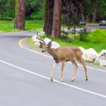Deer Warning Devices for Cars