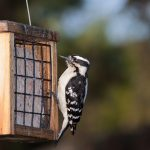 What is Suet for Birds
